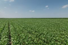 Green ripening soybean field. Rows of green soybeans. Soy planta. Tion. Agriculture Royalty Free Stock Photos