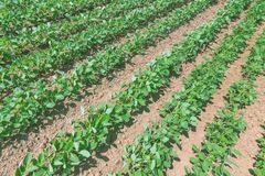 Green ripening soybean field. Rows of green soybeans. Soy plantation royalty free stock image