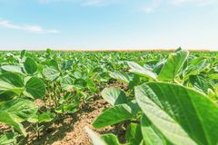 Green ripening soybean field. Rows of green soybeans. Soy plantation stock photo