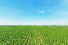 Green ripening soybean field. Rows of green soybeans. Soy plantation stock photography