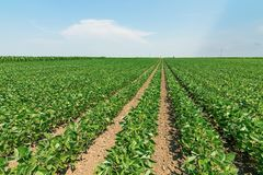 Green ripening soybean field. Rows of green soybeans. Soy plantation royalty free stock images