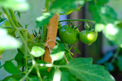 Green ripening tomatoes. Good quality large size photo of a ripening tomatoes in morning light/ sun. You may see quite big round shape vegetables hanged on a royalty free stock image