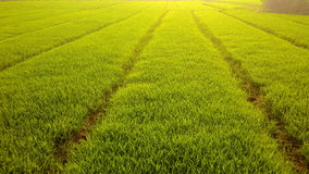Green rise field Royalty Free Stock Photography