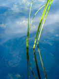 Green River Reeds in Reflection Royalty Free Stock Images
