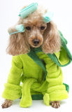 Green Robe and Curlers. A poodle in a green bathrobe with green curlers royalty free stock image