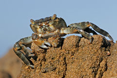 Green rock crab. (Grapsus fourmanoiri) on a rock against a blue sky, South Africa royalty free stock images
