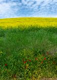 Green Rolling hills with Yellow Wildflowers Spring In Tuscany Italy stock photos