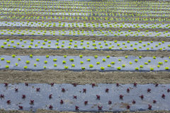 Green romain letuce field in row Stock Photography
