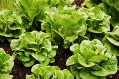 Green romaine lettuce Stock Photo