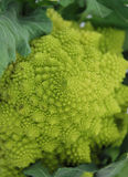 Green Romanesco Cauliflower Royalty Free Stock Photography