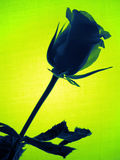 Green rose Stock Photos