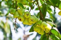 Green rose apple on tree Royalty Free Stock Photo