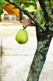 Green rose apple tree in the garden Royalty Free Stock Photo