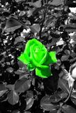 Green rose blossom in a black and white sea of leaves - Garden flowers blooming in the summer. Vibrant green rose blooming on the bush - Garden in the summer stock photography