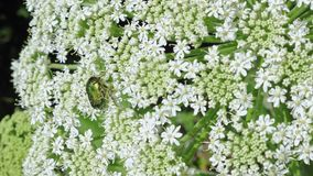 Green rose chafer beetle on the inflorescence of hogweed. Green rose chafer beetle Cetonia aurata feeds on the inflorescence of hogweed Heracleum. Close up stock video