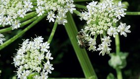Green rose chafer beetle on the inflorescence of hogweed. Green rose chafer beetle Cetonia aurata feeds on the inflorescence of hogweed Heracleum. Close up stock video footage