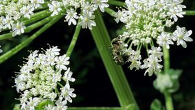 Green rose chafer beetle on the inflorescence of hogweed. stock footage