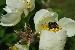 Rose chafers mating in peony flower stock photography