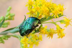 Green rose chafer, Cetonia aurata. Feeding on Canadian goldenrod Stock Images