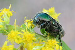 Green rose chafer, Cetonia aurata. Feeding on Canadian goldenrod Stock Photography