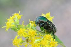 Green rose chafer, Cetonia aurata. Feeding on Canadian goldenrod Royalty Free Stock Photography