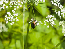 Green Rose Chafer, Cetonia Aurata, feeding on white flowers of Bishop`s weed, macro, selective focus, shallow DOF Stock Image