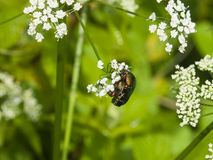 Green Rose Chafer, Cetonia Aurata, feeding on white flowers of Bishop`s weed, macro, selective focus, shallow DOF Royalty Free Stock Photos
