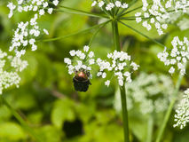 Green Rose Chafer, Cetonia Aurata, feeding on white flowers of Bishop`s weed, macro, selective focus, shallow DOF Stock Photography
