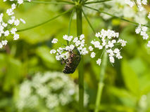 Green Rose Chafer, Cetonia Aurata, feeding on white flowers of Bishop`s weed, macro, selective focus, shallow DOF Stock Photos