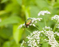 Green Rose Chafer, Cetonia Aurata, feeding on white flowers of Bishop`s weed, macro, selective focus, shallow DOF Royalty Free Stock Image