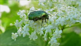 Green Rose Chafer (Cetonia Aurata) stock footage