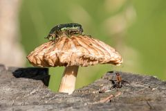Green rose chafer Cetonia aurata sitting on the mushroom and the ant stock photography