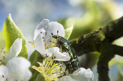 Green Rose Chafer Royalty Free Stock Image