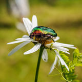 Green rose chafer Stock Photo