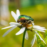Green rose chafer Stock Images