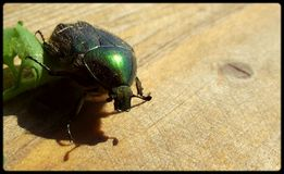 Green rose chafer. Detail of green rose chafer Royalty Free Stock Photos