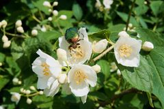 Green rose chafer on jasmine flower and some more jasmine flowers. Close up view stock images