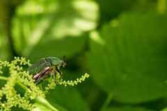 The Green Rose Chafer Lat. Cetonia aurata royalty free stock images