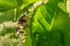 The Green Rose Chafer Lat. Cetonia aurata on a blooming astilbe stock photography