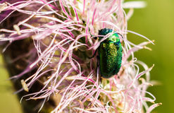 Green rose chafer on pink flowers. Cetonia aurata beetle Royalty Free Stock Photos