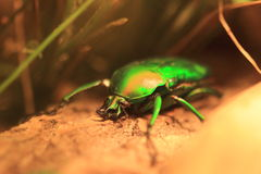 Green rose chafer Stock Image