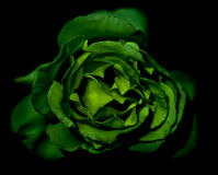 Green Rose Royalty Free Stock Photography