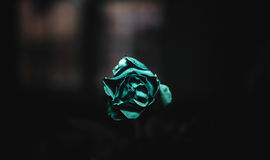 Green Rose. Close-up of a rose illuminated by a green  light Stock Images
