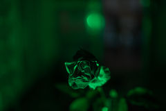 Green Rose. Close-up of a rose illuminated by a green  light Royalty Free Stock Photography