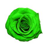 Green rose head isolated on white stock image