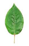 Green Rose Leaf Royalty Free Stock Image