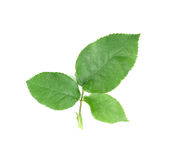 Green rose leaf on a white background. Green rose leaf on a white stock photo
