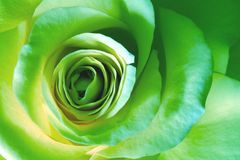 Green rose macro Royalty Free Stock Photo