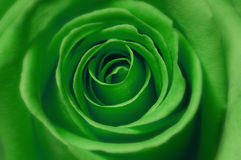 Green rose macro Royalty Free Stock Photography