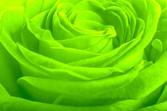 Green rose petals as background Royalty Free Stock Images
